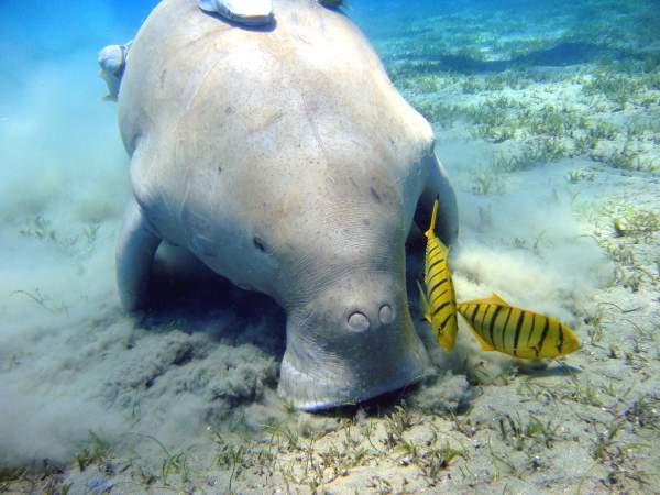 Congrès mondial de la nature de l'UICN :  Afin de protéger le dugong à Mayotte, le Gouvernement lance  un nouveau plan d'action pour prévenir le déclin de cette espèce menacée
